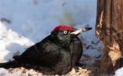 black-woodpecker